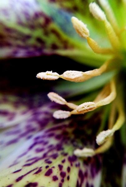 Stamen against petal by rainfall