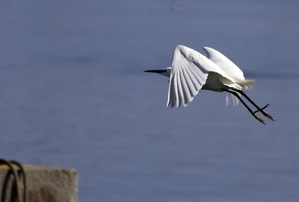 Little Egret by heron