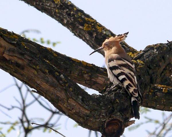 Hoopoe by heron