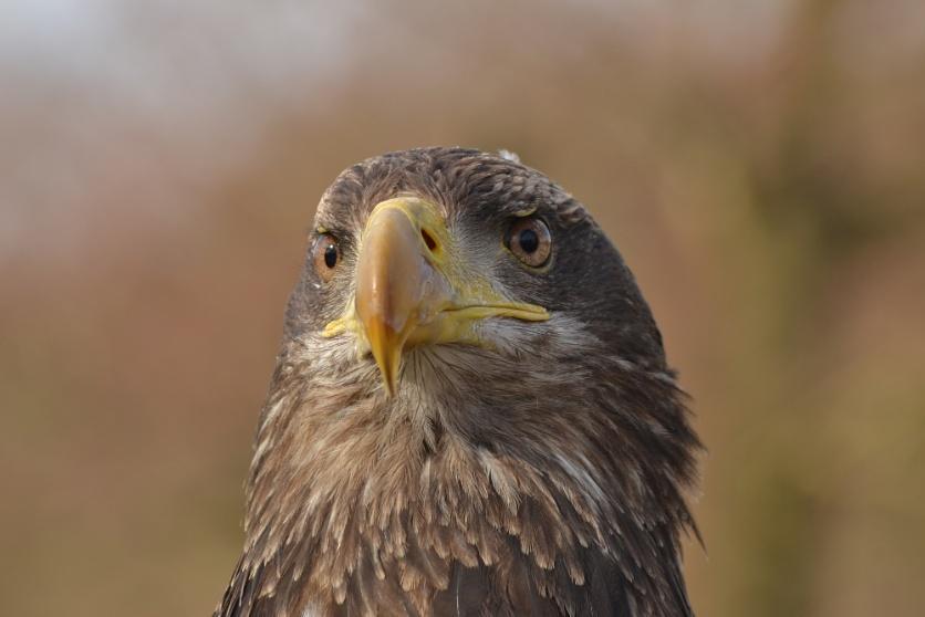 Juvenile bald headed eagle