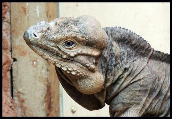 Rhinoceros Iguana by kathrynlouise