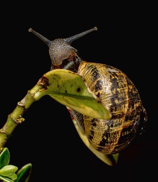 Snail by happysnapper