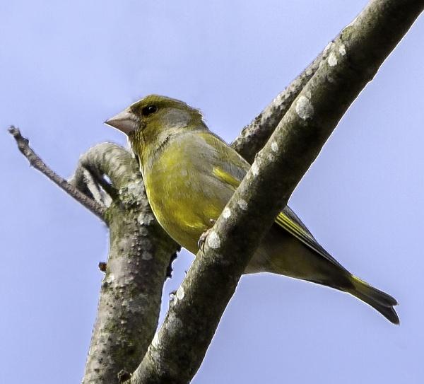 Greenfinch by pdunstan_Greymoon