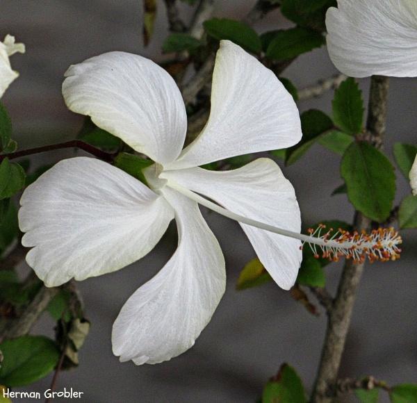 White Hibiscus by Hermanus