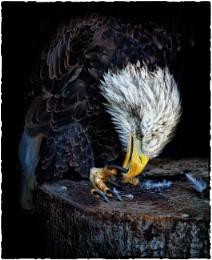 Alaskan Bald Eagle In Full Portrait