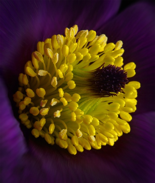 The first Anemone by JulieAsh