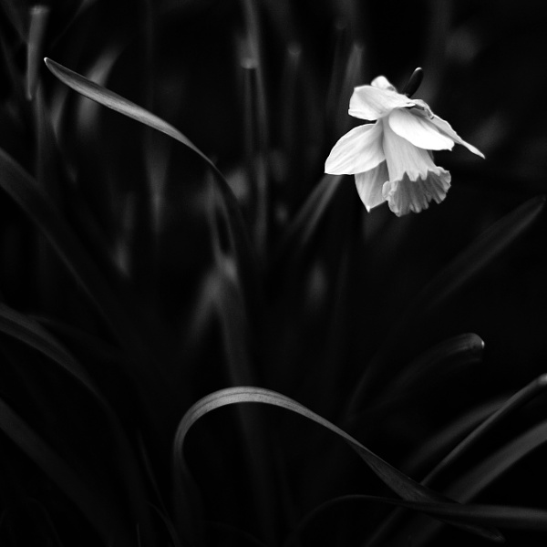daffodils in black and white by gaborfoto
