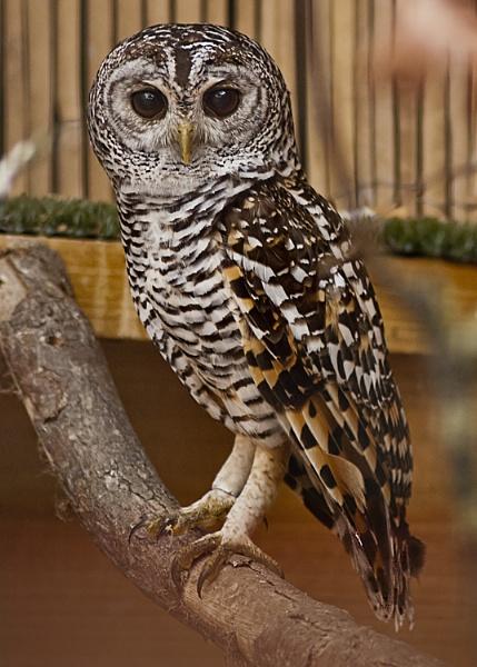 Owl by Fogey