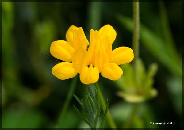 Trifolium nigrescens yellow version by GeorgePlatis