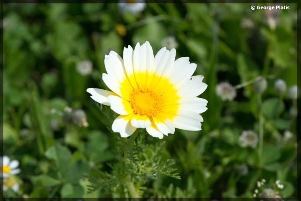 Chrysanthemum coronarium by GeorgePlatis