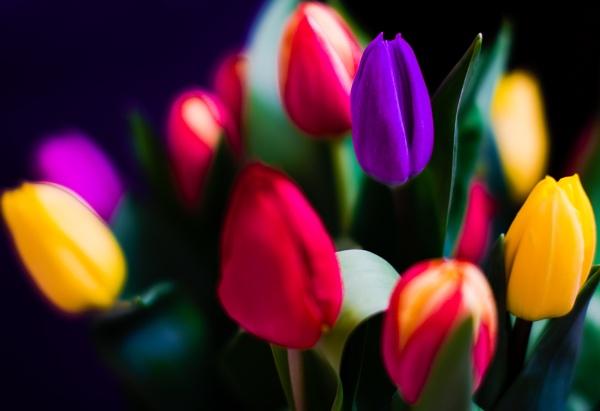 Tulips by ABPhotosUK