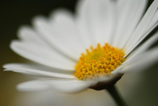 Marguerite by flowerpower59