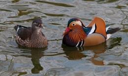 Manderin Ducks