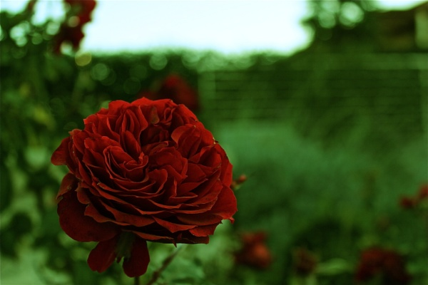 Roses by JacopoR