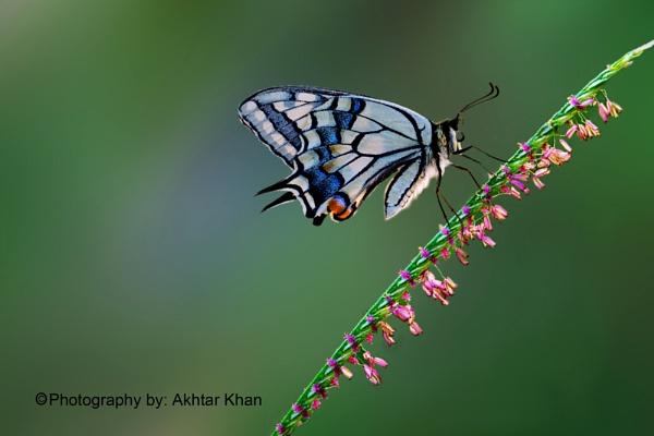 Swallowtail Butterfly by akhtarkhan