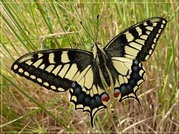 swallowtail in grass
