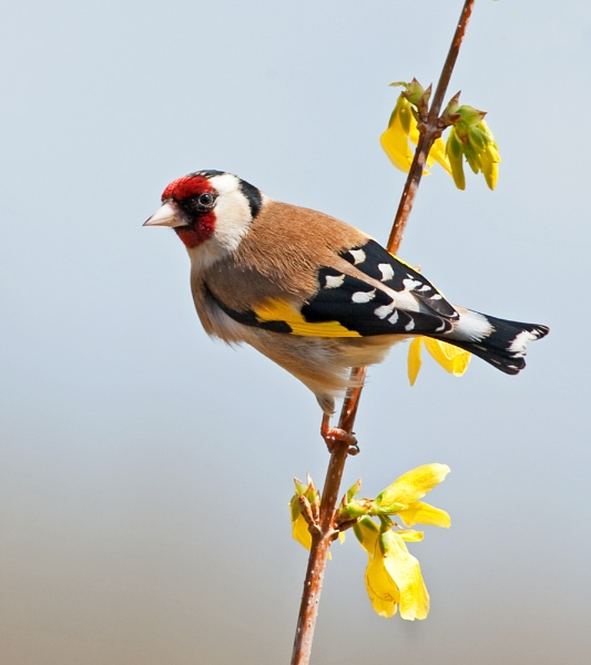 A Dorset Goldfinch by Trev_B