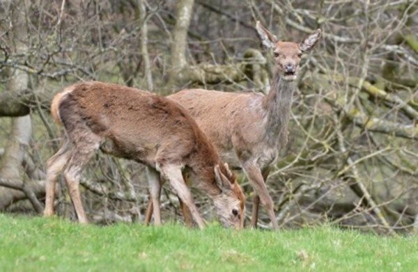 Deer by Chubby