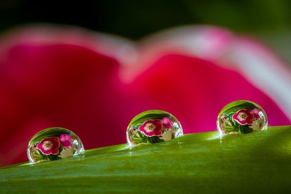 Tulip reflections by Mackem