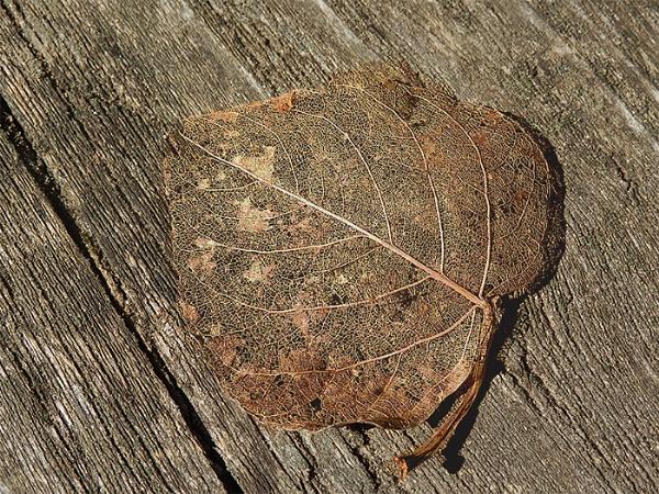 Gold leaf by Jolind