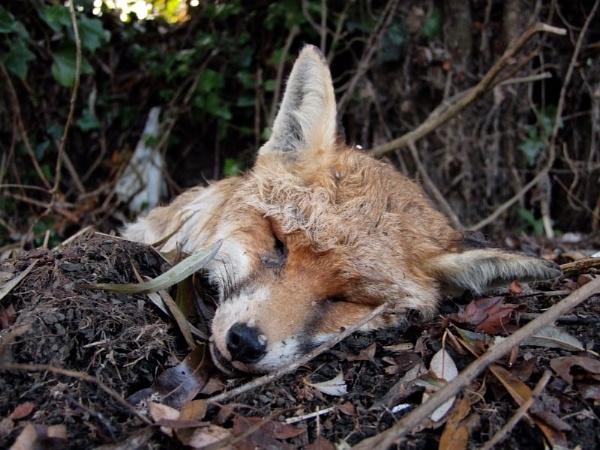 Red  fox ; dead , cute. by pantheonrider