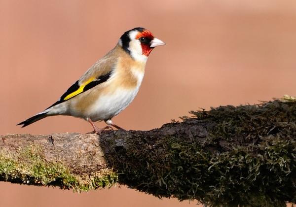 Goldfinch by gmorley