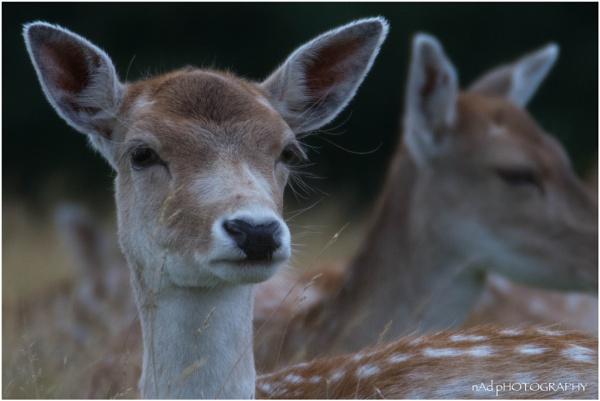Oh deer me... by NDODS