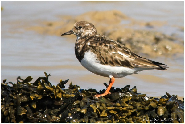 Tuesday Turnstones