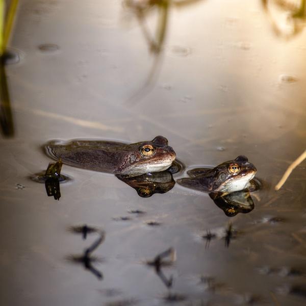 Frogs by blomman