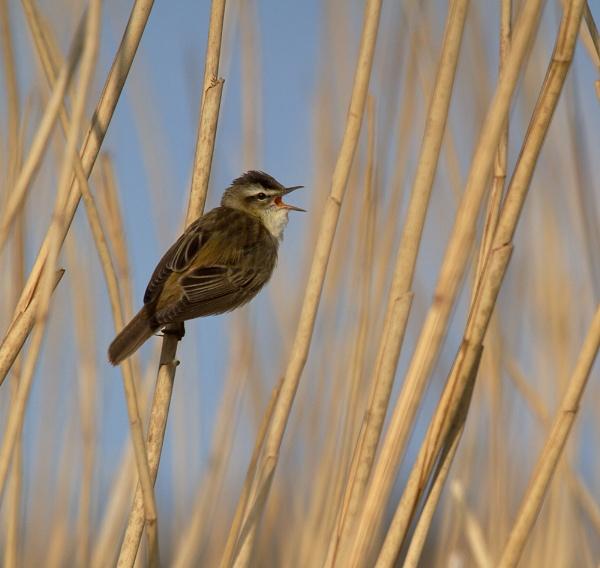 sedge Warbler Singing. by footloose