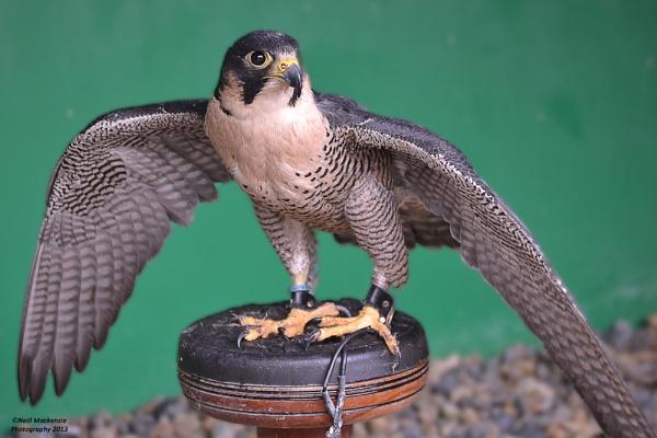 falcon by jimmymack