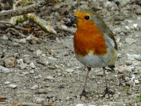 Robin with slug by Derek_Fearn