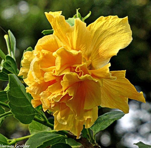 Yellow Double Hibiscus by Hermanus