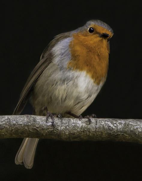 Inquisitve Robin by pdunstan_Greymoon