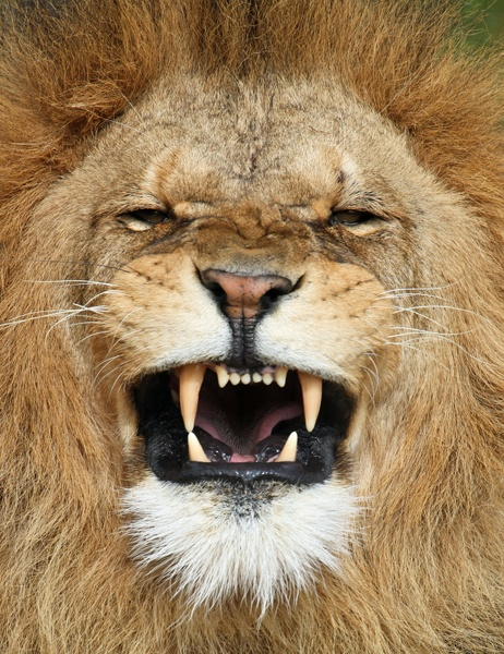 African Lion by Buggers1962