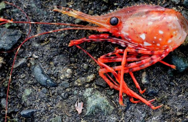 Shrimp Red Alert by tonyguitar