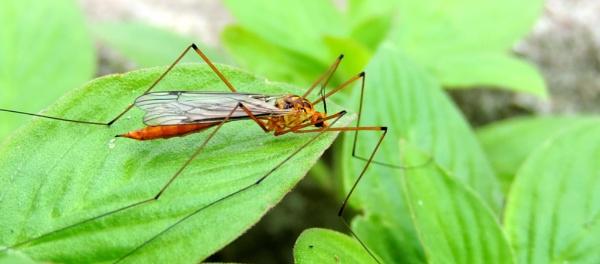 crane fly by Buddhadev