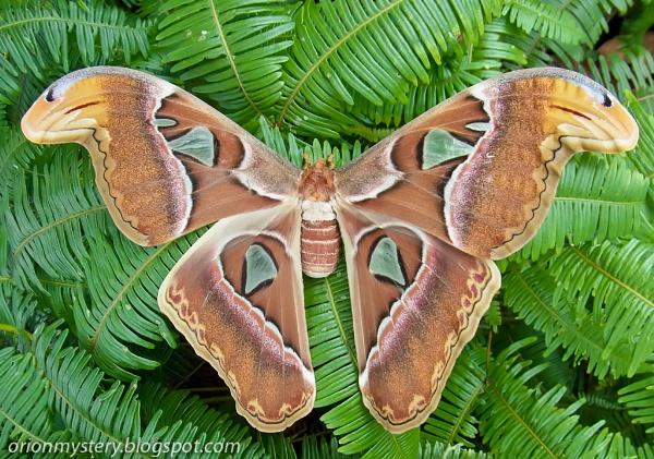 Gorgeous Atlas Moth
