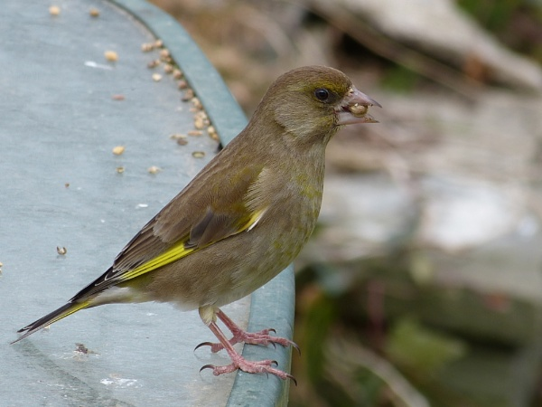 Greenfinch by mauriceegan