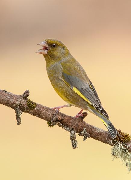 Greenfinch by geoffrey baker