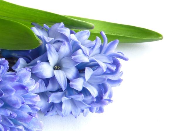 Hyacinth 2 by Beeeze