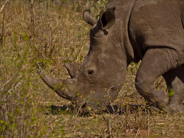 White Rhino Zambia by maggietear