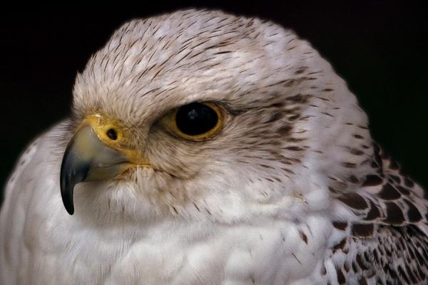 Hawk Detail by Fogey