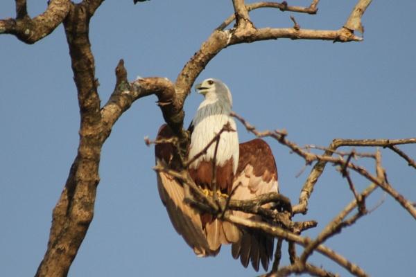 Brahminy Kite by Shotover