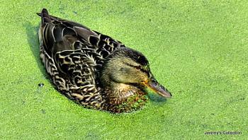 Duck in Pea Soup