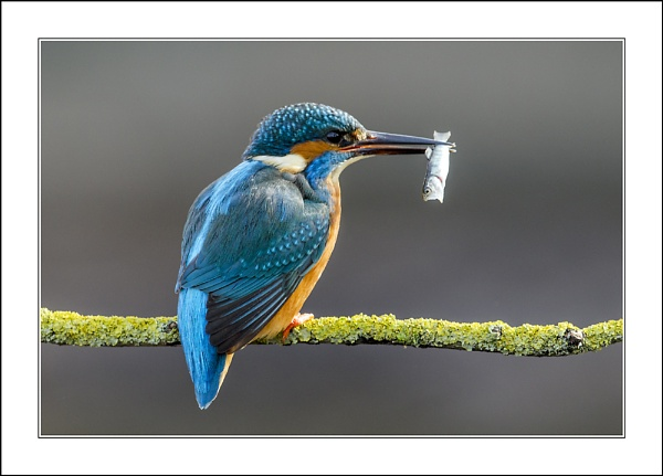 Male Kingfisher with unfortunate prey by phil_j