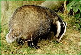 Badger-Meles meles.