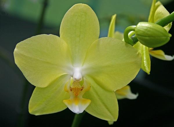 Phaleonopsis & pleione by adrian_w
