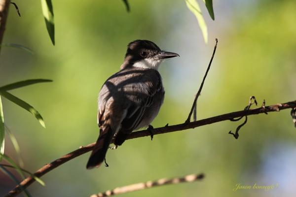 Kingbird by Jason_Bonsey