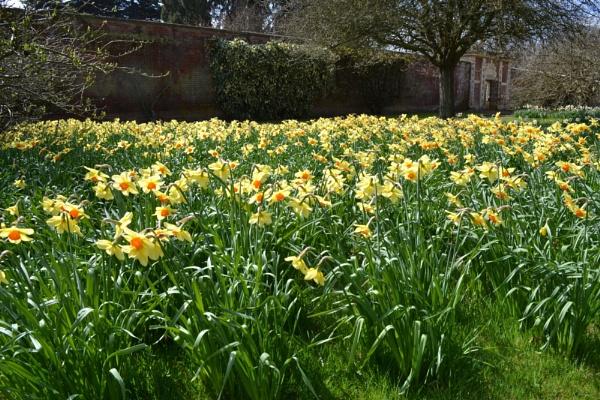 Spring Daffodils Somerlyton Hall by cathsnap